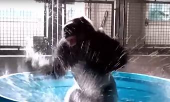 Le Gorille qui s'éclate à danser sur Flashdance fait le buzz !